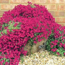 200 Semi di Rock Cress-Brillante Rosso Groundcover Muro COVER FIORI