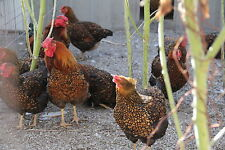 12 Gold Laced Wyandotte Chicken Hatching Eggs*