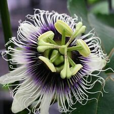 PASSIFLORA EDULIS (MARAKUJA) EXOTIC PASSION FLOWER FRUIT VINE (10 SEEDS)