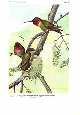 "1936 Vintage FUERTES BIRDS #66 ""RUBY-THROATED HUMMINGBIRD Color Plate Lithograph"