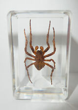 Ghost Spider (Neoscona punctigera) - Insect Specimen in Lucite Paperweight Clear