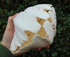 BP2) BEAR PAW GIANT CLAM SHELL SEASHELL Polished PAIR Tridacna Hippopus 7 inches