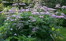 PINK COW PARSLEY * HAIRY CHERVIL * Chaerophyllum hirsutum roseum *  SEED