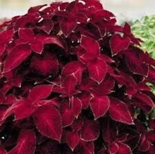50+ Coleus Wizard Scarlet Flower Seeds/ Shade Loving Annual