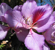 PURPLE ORCHID TREE * BUTTERFLY FLOWER * Bauhinia purpurea * TROPICAL SEEDS