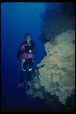 156071 Scuba Diver And Wall Of Sea Fans A4 Photo Print