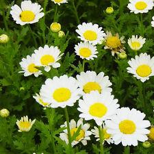 Golden Chamomile Seeds 50 Seeds Anthemis Tinctoria Flower Garden Seeds Hot A115