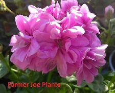 IVY GERANIUM - CONTESSA DOUBLE LILAC - 4 PLANTS -STARTER PLANTS -LIVE PLANTS