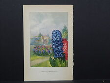 Botanicals, Flowers, One Double Sided Print c.1927 #22 Hyacinth/ Gentian