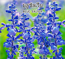 NEW 50 Seeds Blue Salvia Farinacea Flowering Shrub Outstanding Color