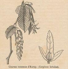 C8703 Carpinus betulus - Stampa antica - 1892 Engraving