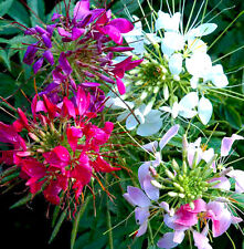 SPIDER FLOWER MIX - 450 SEEDS - Cleome Hassleriana - Cleome spinosa - ANNUAL