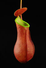NEPENTHES REINWARDTIANA RED - PIANTA CARNIVORA, 5 SEMI