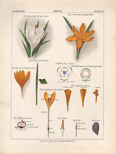 1883 VICTORIAN BOTANICAL PRINT ~ CROCUS FLOWER WITH STIGMA ANTHERS SEED
