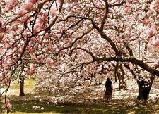 20 Magnolia denudata MAGNOLIA TREE SEEDS! Yulan