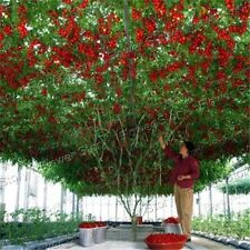 Heirloom NON GMO 50 Tomato Tree Seeds  Easy to Grow Vegetable1