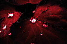 Framed Print - Deep Red Leafs with Rain Drops (Picture Poster Tree Flower Art)