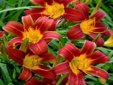 2 Daylily Red Magic plants/fans