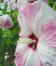HARDY HIBISCUS  moscheutos * SWAMP MALLOW * MIXED HYBRIDS * HUGE BLOOMS * SEED