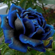 10 x Lover Charming Bush Midnight Supreme Seeds Rare Garden Blue Rose Seeds L7S