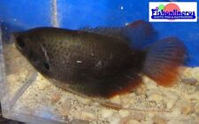 Red Tail Giant Gourami Fish Live Freshwater Fish