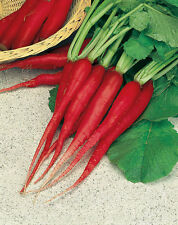 20 Ravanello candela di FUOCO seeds vegetable orto ortaggio raphanus garden semi