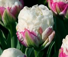 10 Ice Cream Tulip,Ice Cream Bulbs,rare and unique double,Excellent for forcing