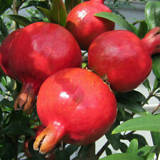 10 Seeds Australian Exotic Pomegranate fruit Seed Punica granatum Hybrid Seeds
