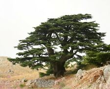 Cedrus libani (Cedar of Lebanon) -20 seeds.  Famous Tree Ideal for Bonsai.