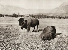 1925 Original CANADA ~ Rocky Mountains Alberta Bison Buffalo Landscape Photo Art
