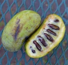 Treated/Stratified Paw Paw tree 5 seeds - Asimina triloba *Uncommon fruit* B57