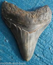 CARCHARODON MEGALODON SHARK TOOTH FOSSIL TEETH 0754