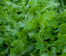 3000 GREEN SALAD BOWL LETTUCE SEEDS, Lactuca sativa + FREE GIFT