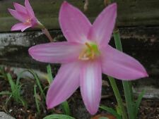 Rain Lily, Habranthus Robustus 'Ted Doremus', 1 bulb, NEW, RARE, zephyranthes