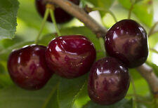 Fresh cuttings of sweet cherry tree. Free shipping.