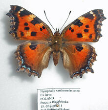NYMPHALIS XANTHOMELAS ANNA *male* from POLAND