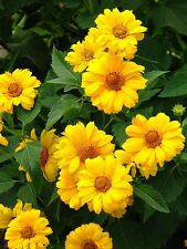 50 SUMMER SUN SUNDROPS Yellow Heliopsis Scabra False Sunflower Flower Seeds