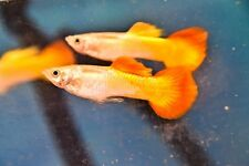 Tequila Sunrise 5 Pair Fancy Guppies Guppy Lovely Tropical Live Fish Auction
