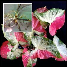 """1 Bulbs Caladium Plants, Queen of the Leafy """"Saichon"""" Ornamental Plants Fresh"""