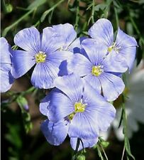 75+ ELECTRIC BLUE FLAX PERENNIAL  FLOWER SEEDS / FIRE RESISTANT / GIFT