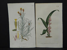 Curtis Botanicals, c.1805 Two Engravings!! Hand Color #05