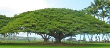20-SAMANEA-SAMAN-RAIN-TREE-SEEDS-MONKEY-POD-STUNNING-EXOTIC-TREE-FRESH-SEED-2016