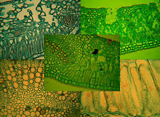 Microscopy Prepared Slides: Leaf Structure - Set of 6