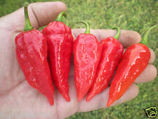 (1000) Red Devil's Tongue Pepper Seeds  *****WHOLESALE*****