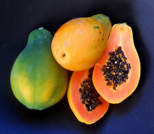 Golden Dwarf Papaya/Easy Grow Pot papaya/20 Finest Seeds