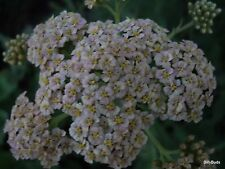 4 ROOT DIVISIONS  OF WHITE  YARROW  / LIVE PLANTS