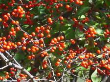 20 AUTUMN GLOW WINTERBERRY HOLLY SEEDS  - ILEX VERTICILLATA X SERRATA