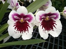 Miltoniopsis White Truffle 'Bright Eyes'  white orchid red center blooming size