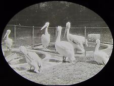 Glass Magic Lantern Slide PELICANS AROUND POND AT A ZOO C1910 PHOTO