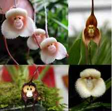 250 pcs Rare Monkey Face Orchid Flower Seeds Potted Plants for Home&Garden